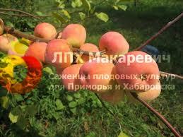 Яблоня Дальневосточное Раннее (1 летний саженец )