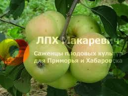 Яблоня Зеленка Сочная (1 летний саженец )