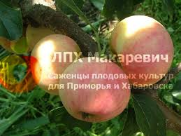 Яблоня Любительское (1 летний саженец )