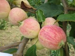 Яблоня Осеннее Полосатое (2-х летний саженец )