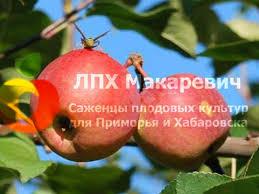 Яблоня Сибирское Сладкое (2-х летний саженец )