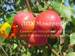 Яблоня Тонконожка (2-х летний саженец )