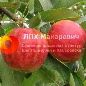 Яблоня 3-2-1 (2-х летний саженец )