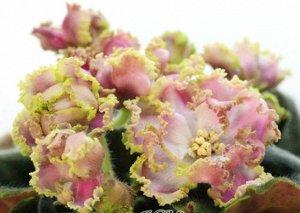 Фиалка Крупные махровые белые звёзды с розовыми тенями и зелёно - бежевым рюшем. Стёганые слегка волнистые средне - зелёные листья.