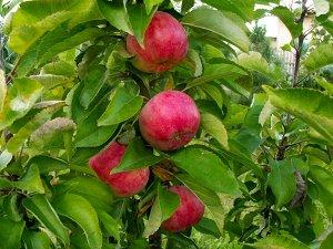 """Колоновидная яблоня сорт """"Васюган"""" - 3 года"""