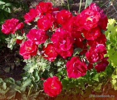 Розы Сибири — лучшие сорта! Предзаказ весна 2022 — Парковые