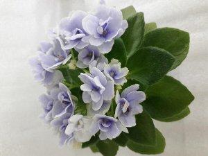 Детка фиалки Jolly Orchid (H.Pittman)