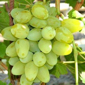 Виноград плодовый Супер-Экстра (C3)Vitis Super Extra