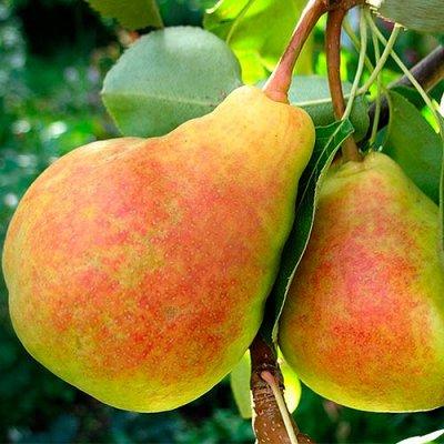 Саженцы плодовых и декоративных растений! Последняя в сезоне — Груша — Плодово-ягодные
