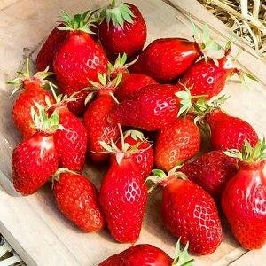 Гаригуэтта сроки созревания клубники средние – ягоды спеют одновременно с другими средне-ранними сортами (такими как Хоней, например); плодоношение растянутое – свежую клубнику можно собирать около ме