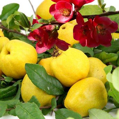 Кустарники плод-ягодные и декоративные. Весна. Свободное — Айва, барбарис — Плодово-ягодные
