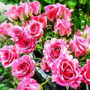 Пинк Флеш Пестрая красавица имеет мелкие цветочки 4-5 см, которые появляются соцветиями 5-10 шт. Их расцветка напоминает структуру мрамора, этот визуальный эффект возникает в результате удачного сочет
