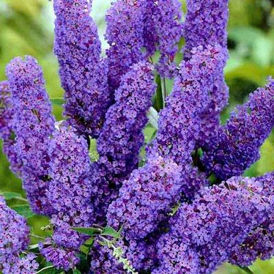 Кустарники плод-ягодные и декоративные.Весна не за горами. — Буддлея Давида — Декоративноцветущие