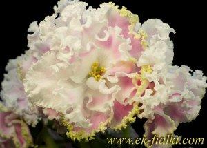 Фиалка Очень крупные полумахровые гофрированные белые цветы с нежно - розовыми пальчиками  на лепестках и салатовым краем - бахромкой. Насыщенно - зелёная компактная розетка. Цветки образуют огромные