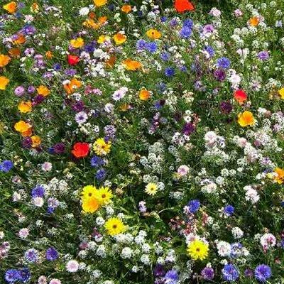 Семена Аltая Цена за 2 пачки — Цветочные смеси однолетников — Семена однолетние