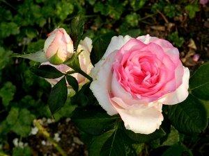 Чайно-гибридная роза сорта Bella Vita (Белла Вита)