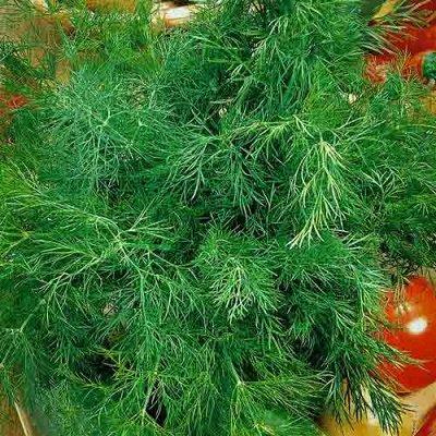 Семена Сибирской селекции — УКРОП — Семена зелени и пряных трав