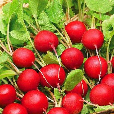 Семена Сибирской селекции — РЕДИС — Семена овощей