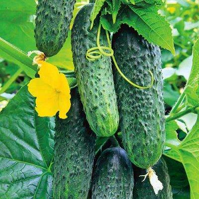 Огромная распродажа семян! +Предзаказ крутого чеснока и лука — Огурец (семена) — Семена овощей