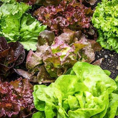 Семена Сибирской селекции — САЛАТ — Семена зелени и пряных трав