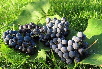 Саженцы местного поставщика — Виноград и лианы — Плодово-ягодные