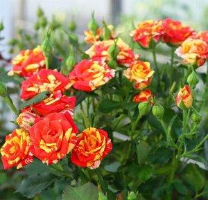 Флэш Фаер Цветы пёстрые, интересной окраски, собраны в соцветия, диаметром 7-8 см. Куст компактный, высотой 60 см. Сорт обильно и повторноцветущий. Зимостоек.