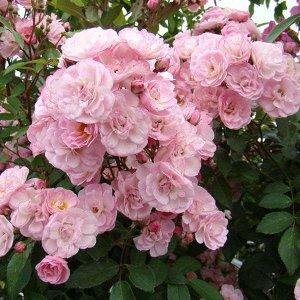 Хевенли Пинк Мускусная роза