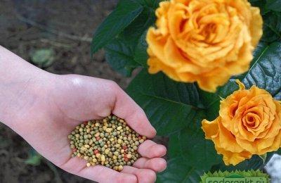 Розы Сибири !  Редкие Сорта🌹 Предзаказ Весна 2021 — Подкормка Роз (и не только) Весной — Удобрения