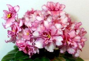 Фиалка Крупные полумахровые белые волнистые звёзды с пастельно - розовым глазком и малиновым фэнтези по краям лепестков. Допускается вариант цветения пастельно - розовым без белого с малиновым фэнтези