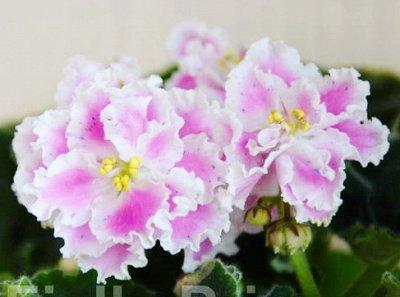 Комнатные цветы. — Фиалки. Листья с детками. — Декоративноцветущие