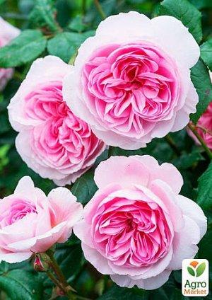 Сенсация Необыкновенной красоты сорт! Роза завораживает своим цветом! Необыкновенно-красивый окрас лепестков заставляет не отрывать глаз! Кусты высокие, мощные, до 1,5 м. Лист зеленый, матовый, крупны