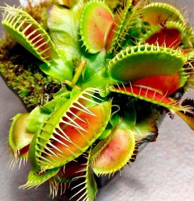 Комнатные растения! Большое поступление фикусов! — Хищные растения — Комнатные растения и уход
