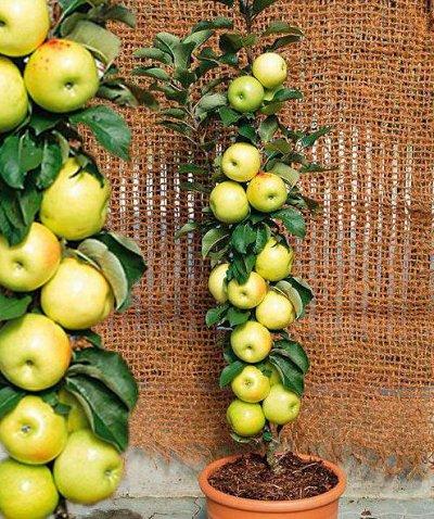 Гортензия в наличии Быстрая доставка — Колоновидные яблони Акция