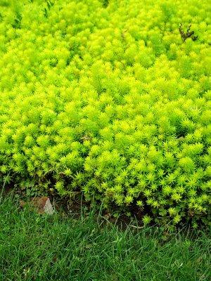 Седум желто-зеленый