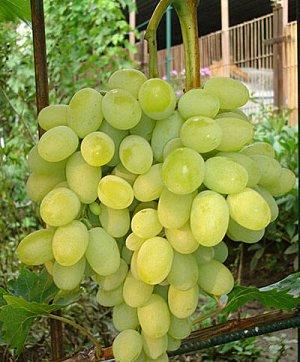Виноград плодовый Августин (C3)Vitis Avgustin