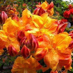 Азалия гибридная Клондайк (С2 Н30-40) цветки желто-оранжевые Azalea hybrida Klondyke