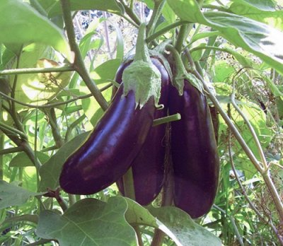 2000 видов семян для посадки! Подкормки, удобрения.     — Семена Баклажан. ХИТЫ! — Семена овощей
