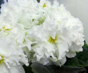 Фиалка Махровые белые цветы с волнистыми краями лепестков. Шапочное цветение. Зелёная листва.