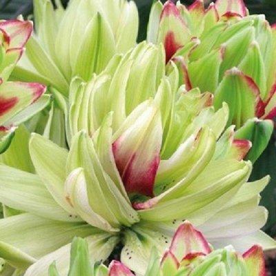 Саженцы плодовых и декоративных растений! Последняя в сезоне — Лилии азиатские махровые — Семена