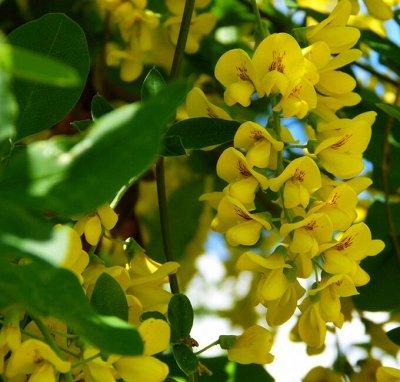 Саженцы местного поставщика — Декоративно-цветущие кустарники 1 — Декоративноцветущие