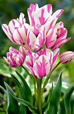 Ликвидация осеннего склада Экспресс от 12 руб — Тюльпаны многоцветковые: букет из одной луковицы