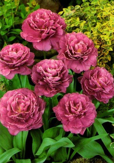 Ликвидация осеннего склада Экспресс от 12 руб — Тюльпаны махровые ранние ликвидация остатков