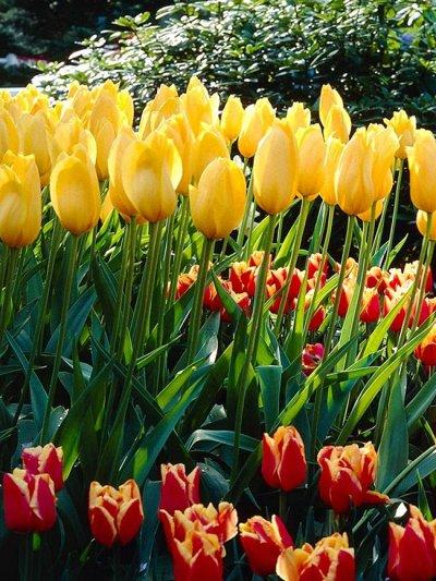 Ликвидация осеннего склада Экспресс от 12 руб — Тюльпаны простые поздние ликвидация остатков