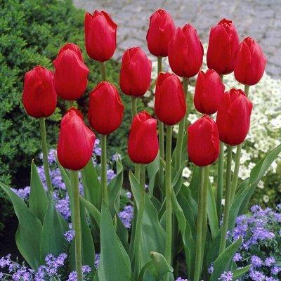 7 цветов! Тюльпаны штучно и наборами — Тюльпан простой поздний шоу бокс 3