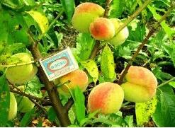 Растения от Виктории.Многолетние.Раздача с 19 мая  — Персики, малина, смородина — Плодово-ягодные