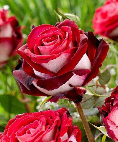 Елки-палки сколько красоты) — Розы — Рассада и саженцы
