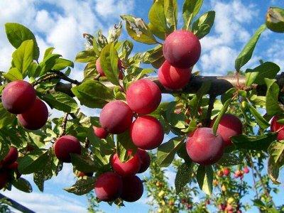 Елки-палки сколько красоты) — Яблони, груши, абрикосы, вишни, малина, жимолость — Плодово-ягодные