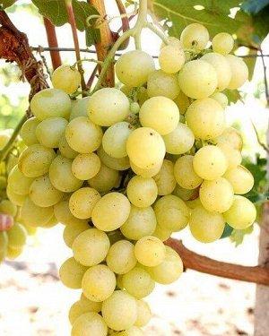 Аркадия Аркадия - столовый сорт винограда. Эта сладкая родительская парочка, где Молдова – в первую очередь, носитель генов устойчивости, а Кардинал – отвечал за качество, дала немало неплохих сортов