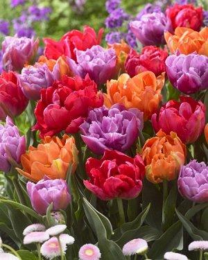Тюльпан Махровые ранние, смесь