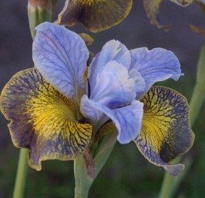 Анкоркт Ирис сибирский – высота растения 80-100 см, листья линейные, заостренные, образующие густой темно-зеленый куст. Цветки фиолетово-синие или светло-фиолетовые. Морозостоек. Цветение июнь. Местор